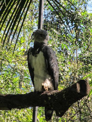 Le Parc des Oiseaux d'Iguaçu: un aigle royal femelle. Elle ressemble en fait à une grande chouette.