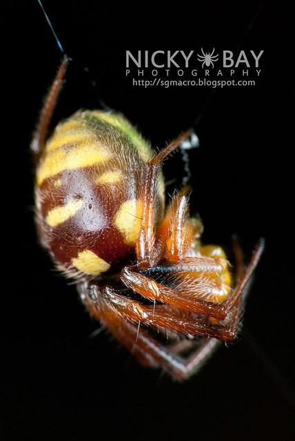 Orb Weaver Spider (Araneus sp.) - DSC_0549