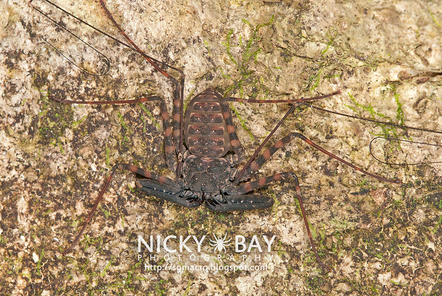 Tailless Whip Scorpion (Ambyplygi) - ESC00146