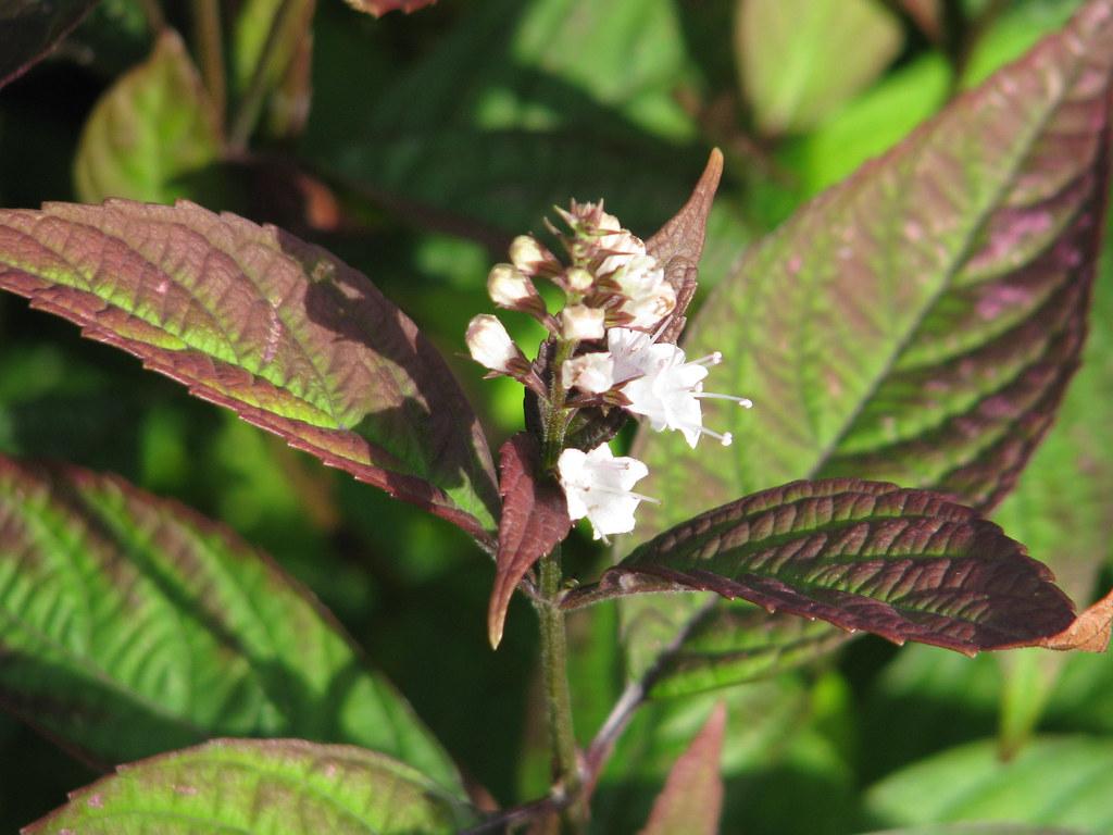 Keiskea japonica pink form