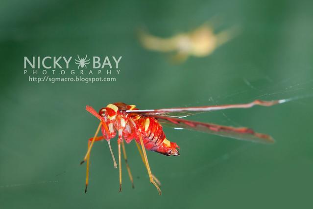 Derbid Planthopper (Derbidae) - DSC_6585