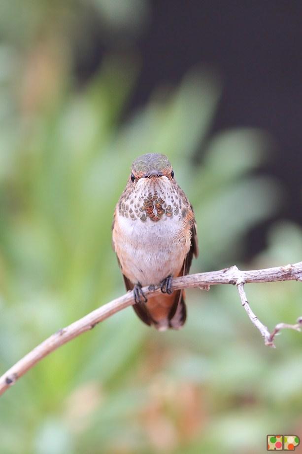 Allen's Hummingbird 101512-2