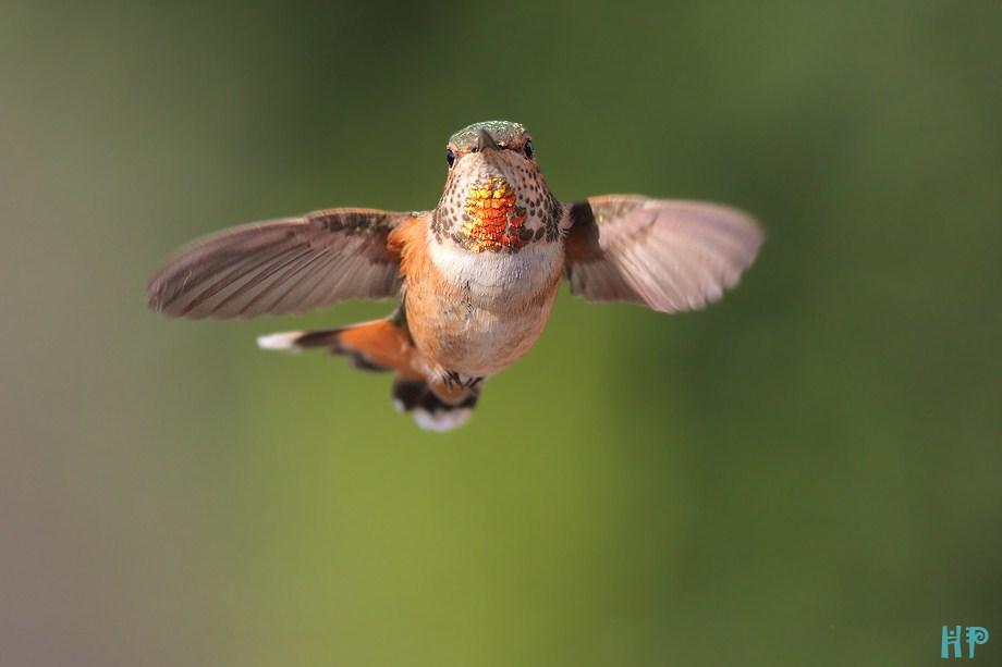 Allen's Hummingbird 101512-3