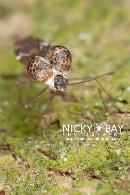 Lace Bug (Ypsotingis sp.) - DSC_5574