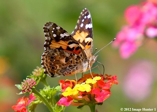 Painted Lady / Lantana, Bayou Courtableau, Louisiana
