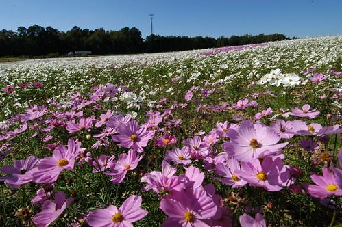 ncdotwildflowers breastcancerawarenesssusangkomen