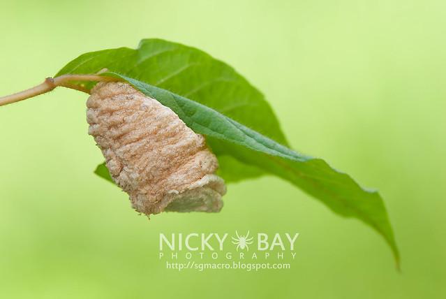 Unknown nest or pupa? - DSC_5047