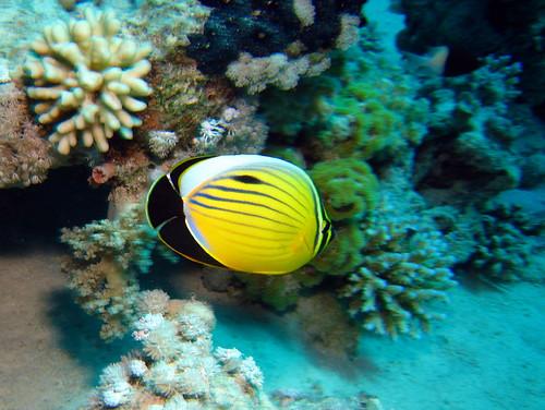 Papillon côtelé de la Mer Rouge de Plongez-Pépère, sur Flickr