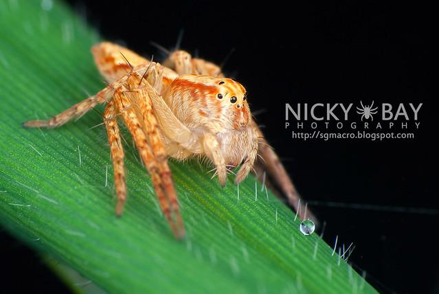 Lynx Spider (Oxyopidae) - DSC_2518