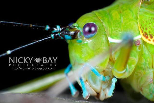 Katydid (Tettigoniidae) - DSC_2163