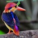 Black-backed Kingfisher or Oriental Dwarf Kingfisher or Three-toed Kingfisher (Ceyx erithaca) by kaybsteve