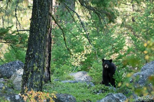 bear trees canada tree nature animal animals forest hike provincialpark blackbear