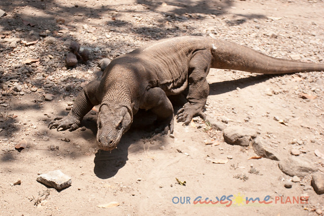 Komodo Dragon National Park-63.jpg