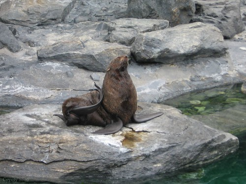 Sea Lion King by Coyoty