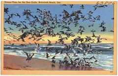 Dinner-time for the sea gulls, Rehoboth Beach, Del.