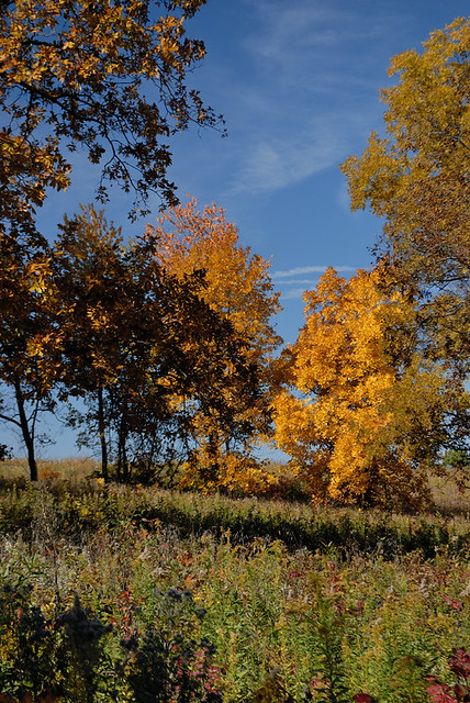 Shaw Nature Reserve (the Arboretum), in Gray Summit, Missouri, USA - clump of autumn trees on prairie 2