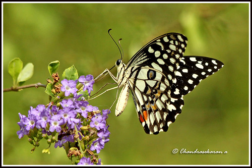 "2551 - lime butterfly - ""Explored"""
