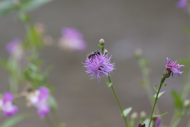 bee on purple 4