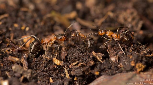 wood ants - Formic rufa 10