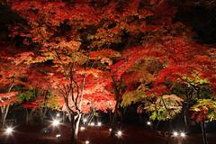 紅葉ライトUP1