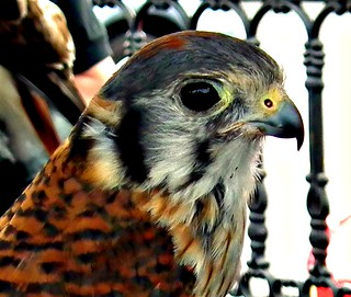 You can help (Please Read Discription) (Western NY) American Kestrel (Falco sparverius) Wildlife Rehab Rescue and Education
