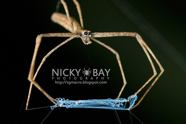 Net-Casting Spider (Deinopidae) - DSC_8606