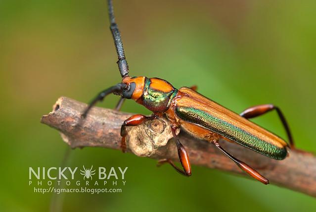 Longhorn Beetle (Xystrocera festiva) - DSC_8233