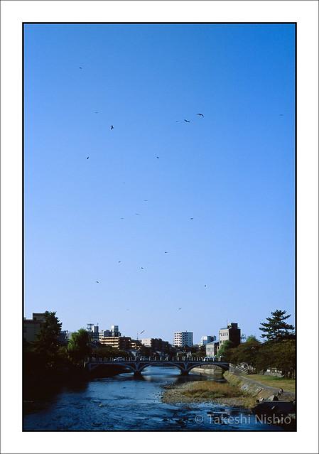 浅野川にトンビが舞う / Kites are circling over Asano-gawa riv.