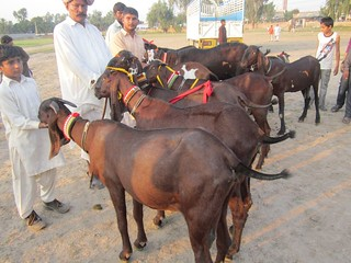 Beetal Nagri--a new goat strain at the goat show