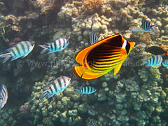 Yellow and Black Butterfly Fish and Sergent Major Fish in Egypt 2012 4