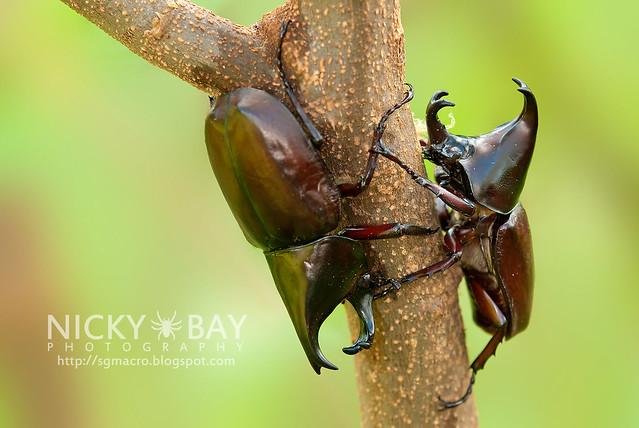 Rhinoceros Beetles (Dynastinae) - DSC_7767