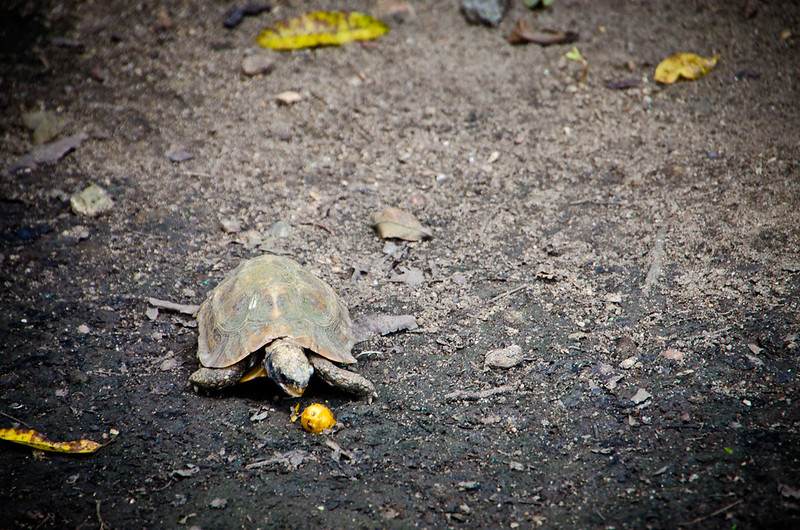 hungry tortoise