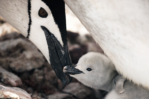 RYALE_Antarctica_Penguins-69