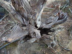 woodland(0.0), tree stump(0.0), flower(0.0), branch(0.0), autumn(0.0), root(1.0), leaf(1.0), wood(1.0), tree(1.0), plant(1.0), flora(1.0), trunk(1.0), wildlife(1.0),