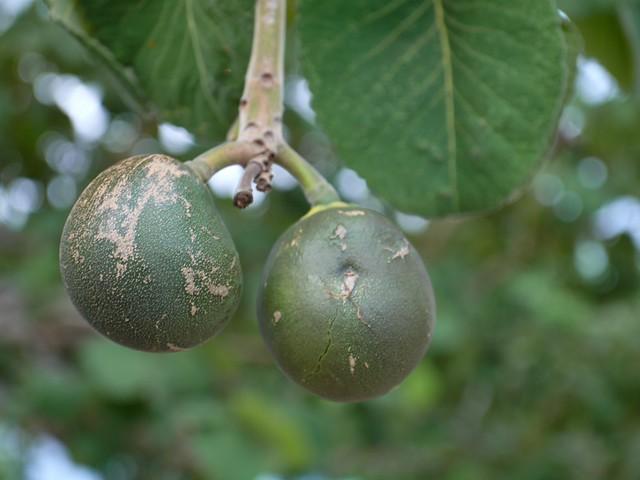 Fruits - Caryocar brasiliense / Pequi no pé