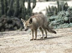 small to medium-sized cats(0.0), bobcat(0.0), animal(1.0), pet(1.0), mammal(1.0), jackal(1.0), grey fox(1.0), fauna(1.0), kit fox(1.0), coyote(1.0), wildlife(1.0),