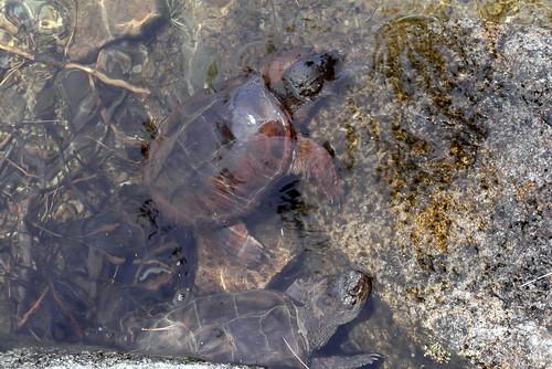Turtles, Acadia National Park, Maine