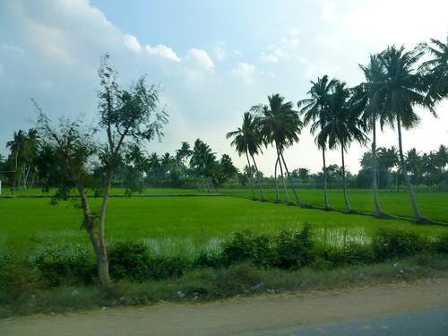 Campos de arroz. India