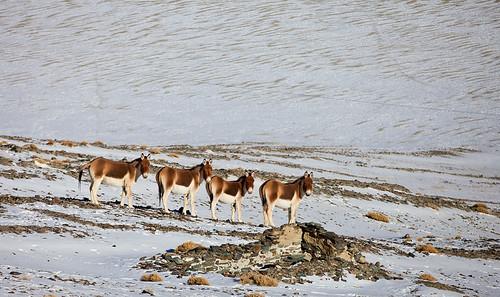Kiang - Tibetan Wild Ass