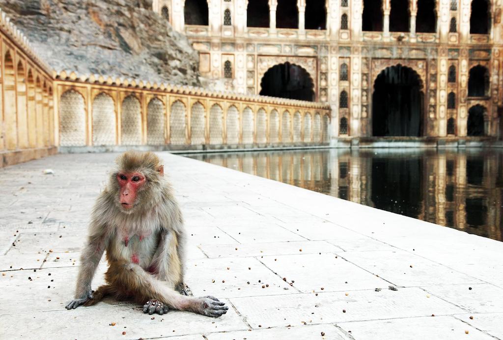 Templo de los Monos en Jaipur