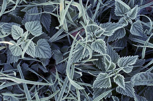 grön frost