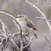 Small photo of Yellow-rumped Thornbill (Acanthiza chrysorrhoa)