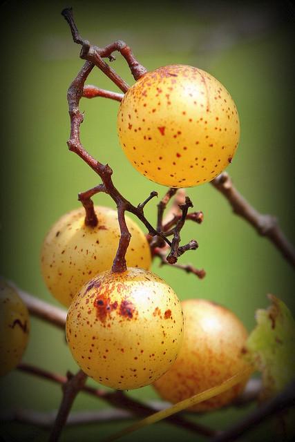 muscadine grapes  { explore }