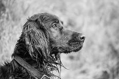 [フリー画像素材] 動物 1, 犬・イヌ, アイリッシュ・セッター, モノクロ ID:201210201000