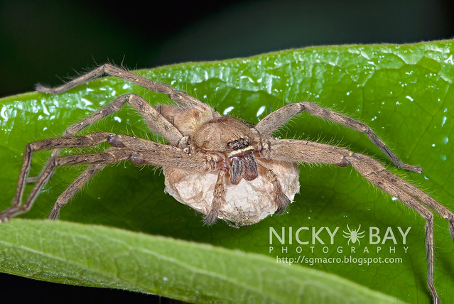 Huntsman Spider (Sparassidae) - DSC_4619