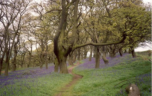 Roseberry Topping, Bluebells on the path back down