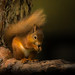 Red Squirrel at Loch Morlich-2