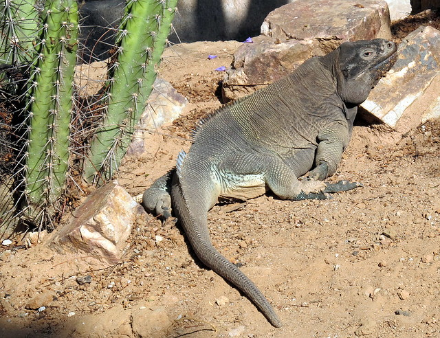 Critically endangered Anegada Ground Iguana