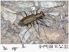 小鏡斑虎甲蟲-02(雌蟲)