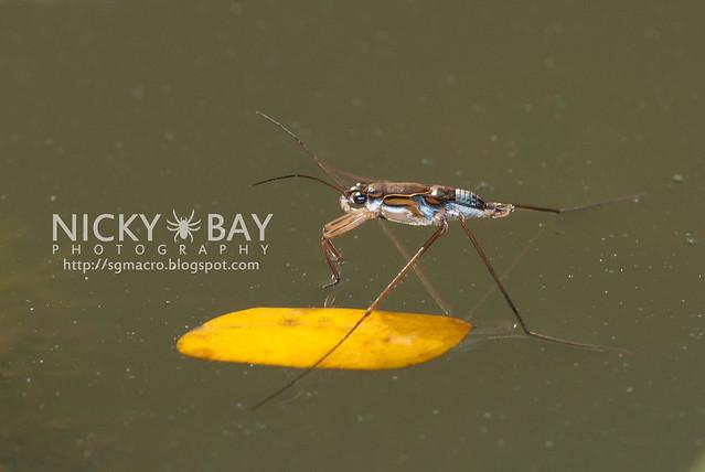 Water Strider (Gerridae) - DSC_1653